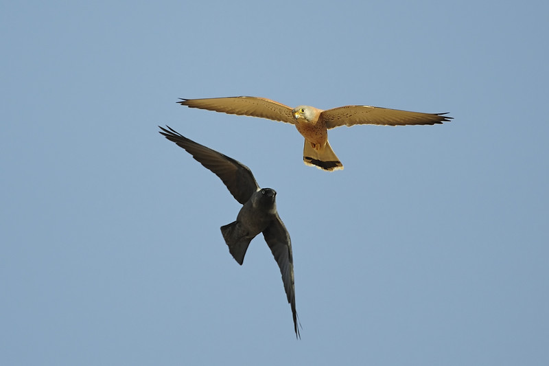 Kestrel & Jackdow