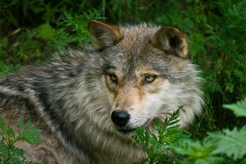 Wolf Sanctuary, Haliburton, Ontario 2008 - 12x18, $145
