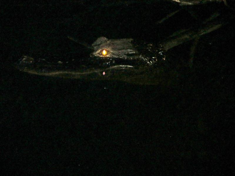 aIMG_1374 Alligator in water, Anahinga Trail EvG.jpg