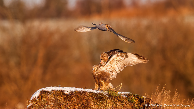 Fjeldvåge (Buteo lagopus - Rough-legged Buzzard) - Tårnfalk (Falco tinnunculus - Common Kestrel)