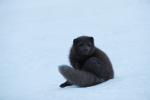 The Arctic fox in Iceland