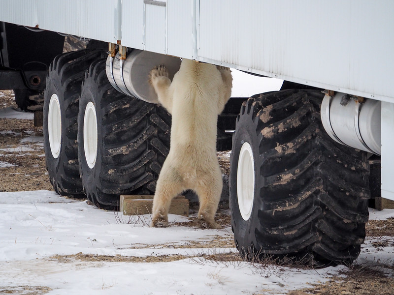 Polar bear at the Tundra Buggy Lodge