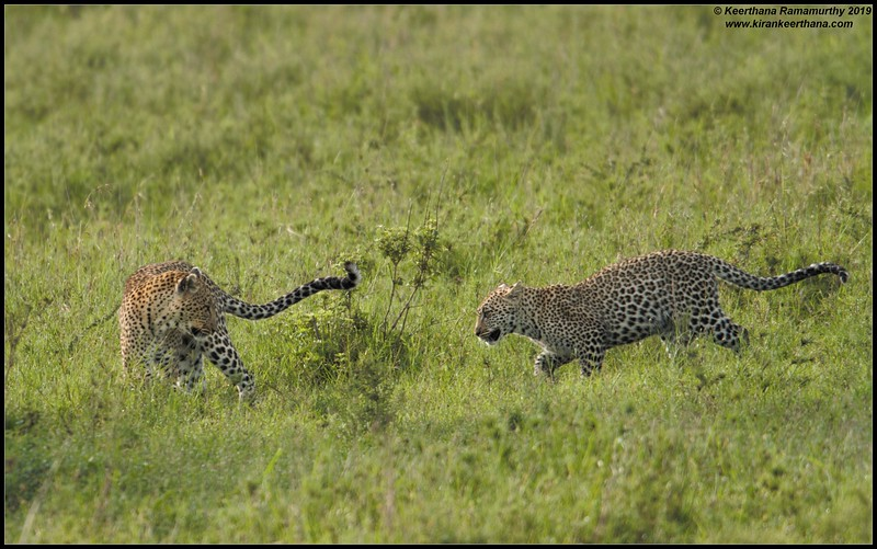 Leopard mom and cub playful mood after the meal, Serengeti National Park, Tanzania, November 2019