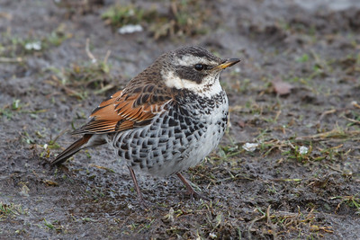 Thrushes  and Warblers