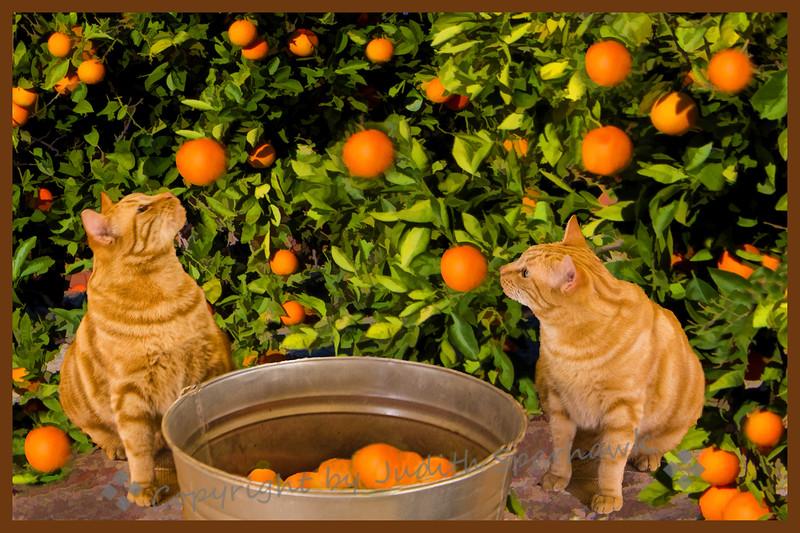 Orange Cats in the Orange Grove