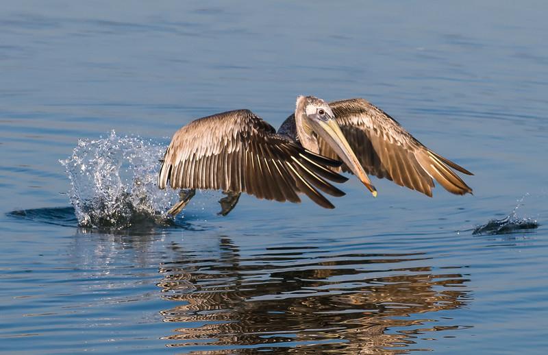 Pelicans-43.jpg