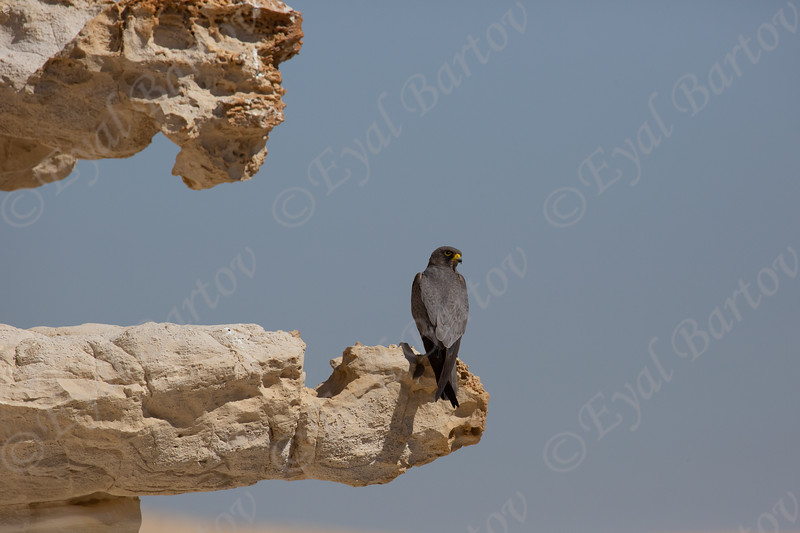 16. Sooty Falcon (Falco concolor) - בז שחור