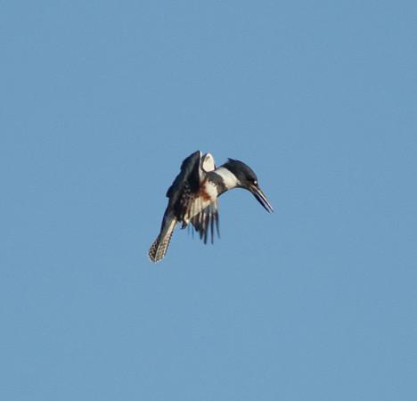 Kingfishers (Alcedinidae)
