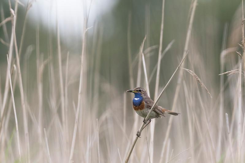 blauwborst, bluethroat