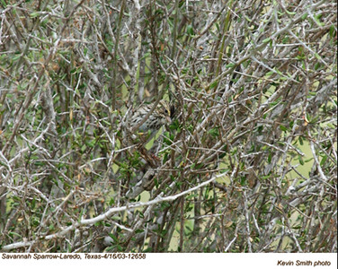 SavannahSparrow12658.jpg