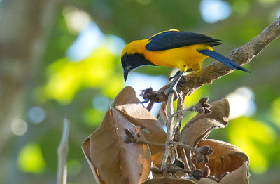Icterus chrysater - Yellow-backed Oriole