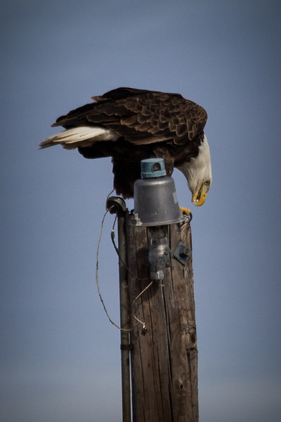 Eagle on pole-7207.jpg