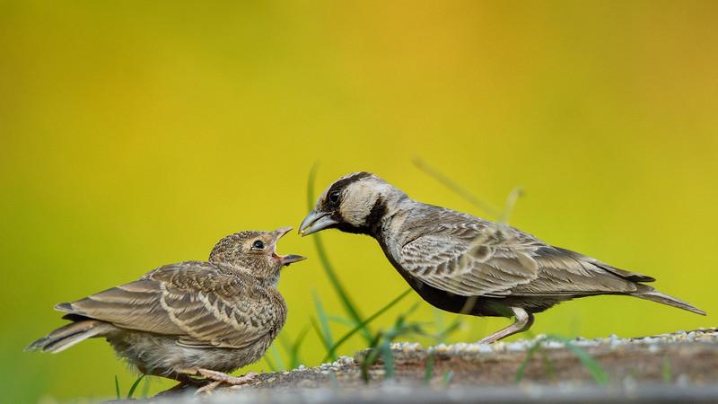 Ashy-crowned-sparrow-lark-feeding-chick-seq-01.jpg