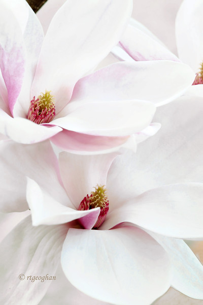 Mar 22_Pink Magnolia Blossoms_5676.jpg