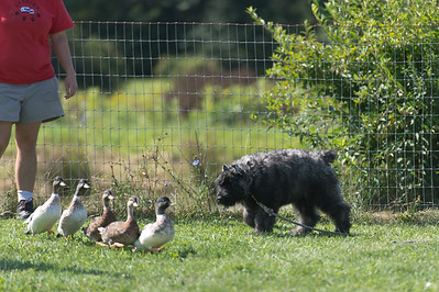 Puppy Herding Party 8-27-17