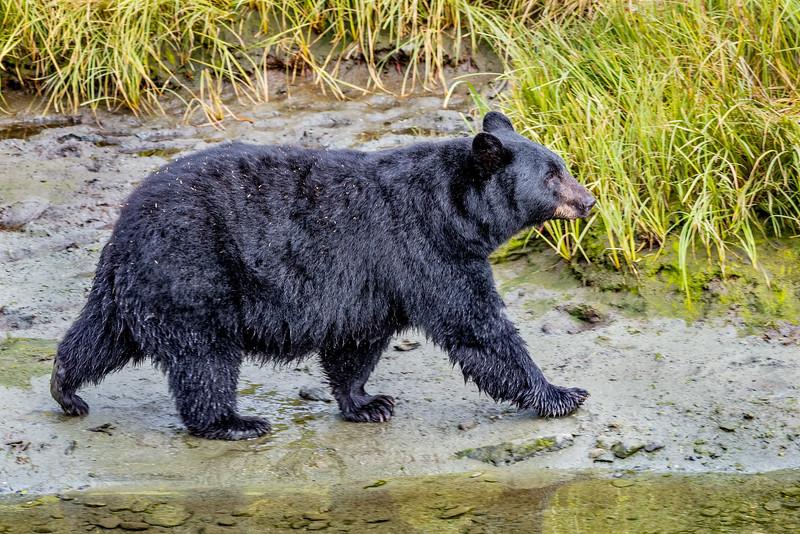 DSC 8548 black bear.jpg