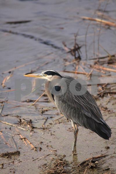 Gr8 blue heron 0220.jpg
