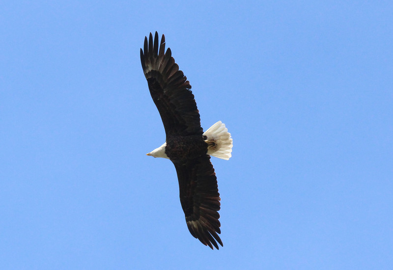 Eagle 05.jpg