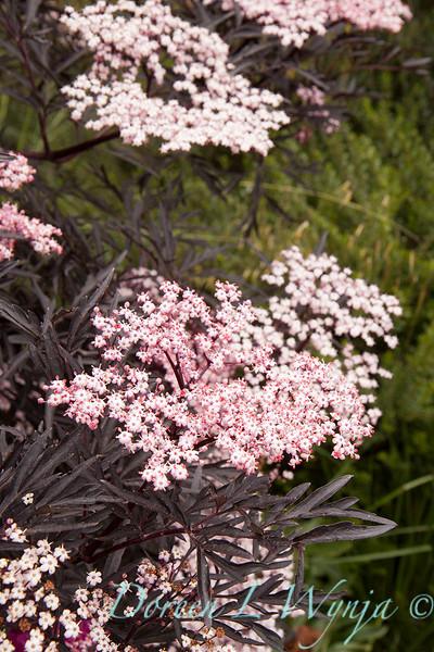Sambucus nigra Black Lace_001.jpg