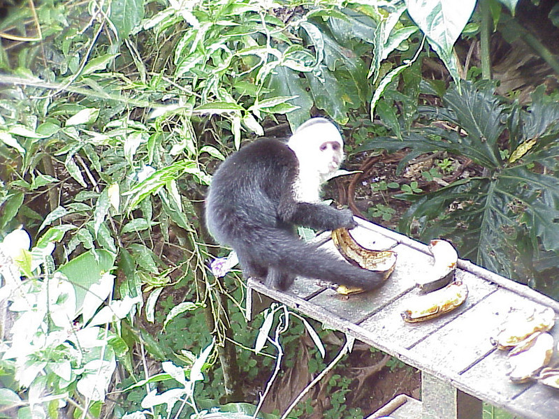 White-faced Capuchin at Vista del Valle Costa Rica 2-15-03 (50898361)