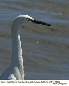 Snowy Egret A26236.jpg