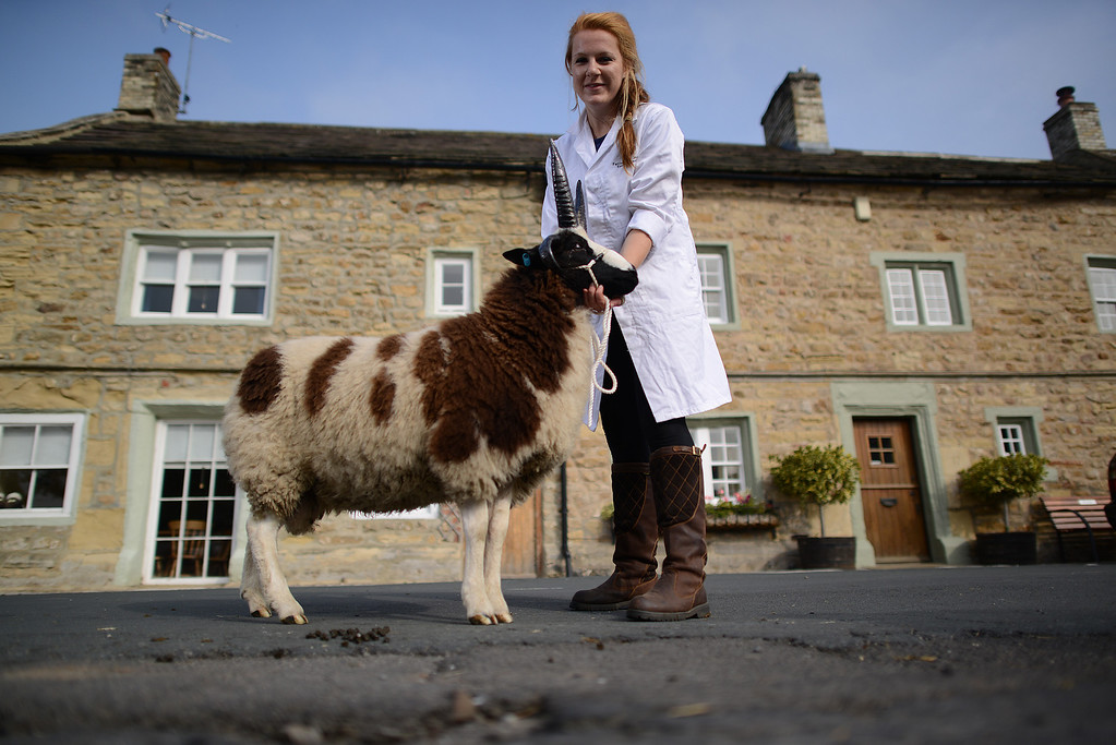 . MASHAM, UNITED KINGDOM - SEPTEMBER 28 Emma Chester of Disforth with one of her Jacob Ram Lambs during the sheep fair in Masham September 28, 2013 in Masham. The fair, celebrating its 25th year, consists of many events over the weekend, including many sheep catagories such as sheep racing, sheepdog demonstrations and fleece stalls. (Photo by Nigel Roddis/Getty Images)