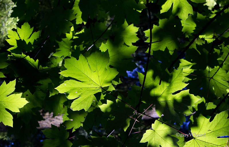 Cathedral Grove leaves.jpg