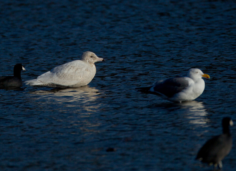 Glaucous Gull San Luis Rey Oceanside  2013 12 21-1.CR2