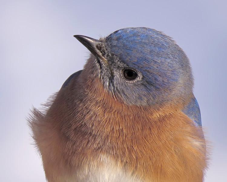 sx50_bluebird_portrait_101.jpg
