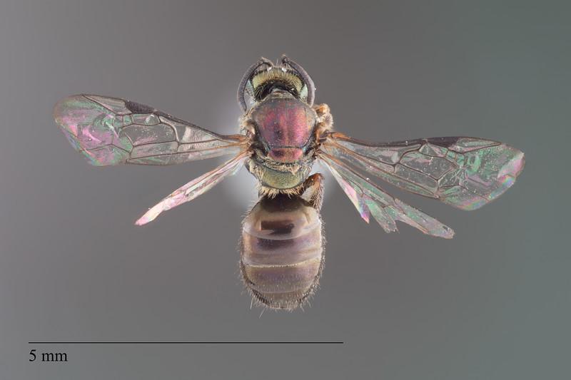Homalictus groomi female