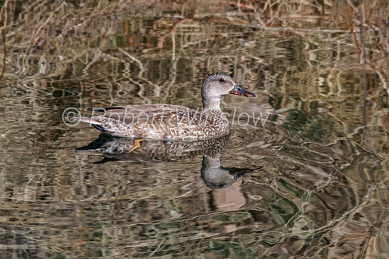 Gadwall, Anas strepera, Adult, female, La Plata County, Colorado, USA, North America
