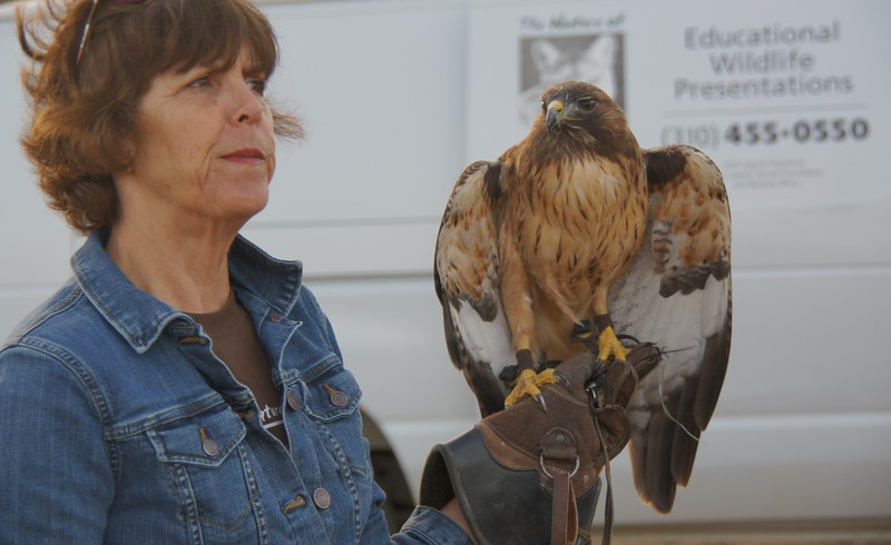 Wildworks - Red-tailed Hawk