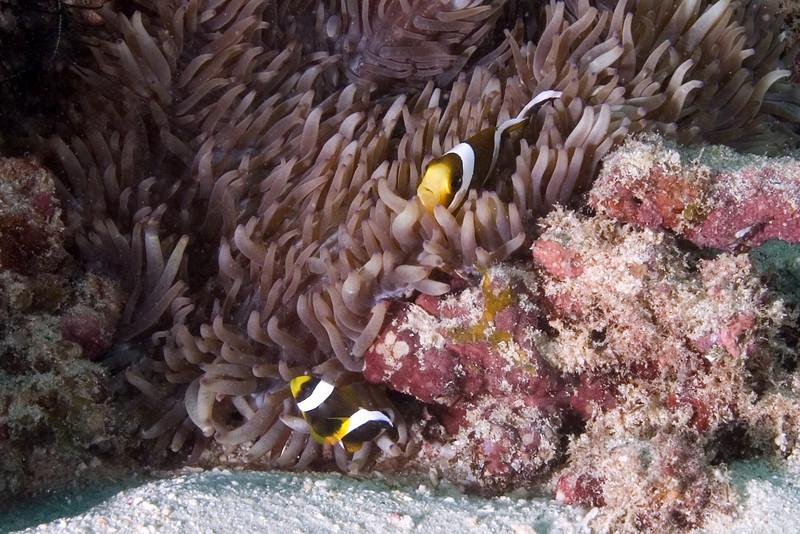 Three Band Anenome Fish 2.jpg