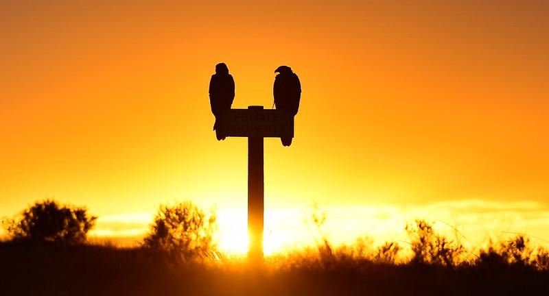 Sunrise hawks