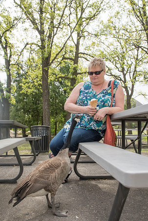 DAVID LIPNOWSKI / WINNIPEG FREE PRESS  A Canada Goose tries to steal a bite of Pat Ward's ice cream cone at the Assiniboine Park Zoo Sunday May 22, 2016. Pat and her family are from Saskatchewan, and were in the city visiting institutions such as the Forks and the Zoo on the May long weekend.