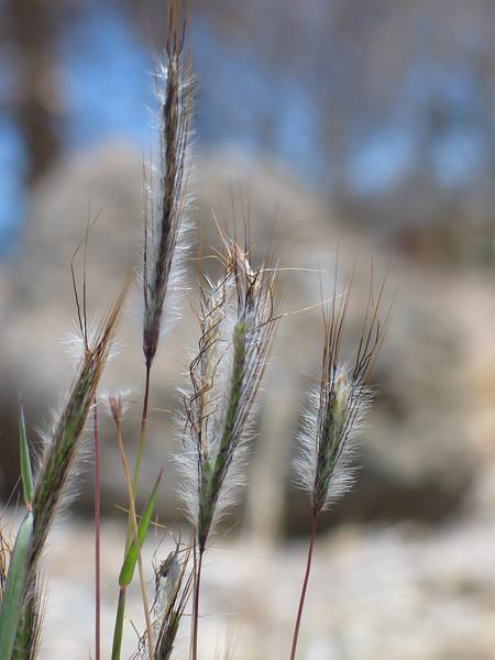 Dicanthium sericeum / Silky Blue Grass #