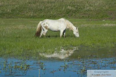Wild and Rare Horses of ND, SD, and WY - May, 2009