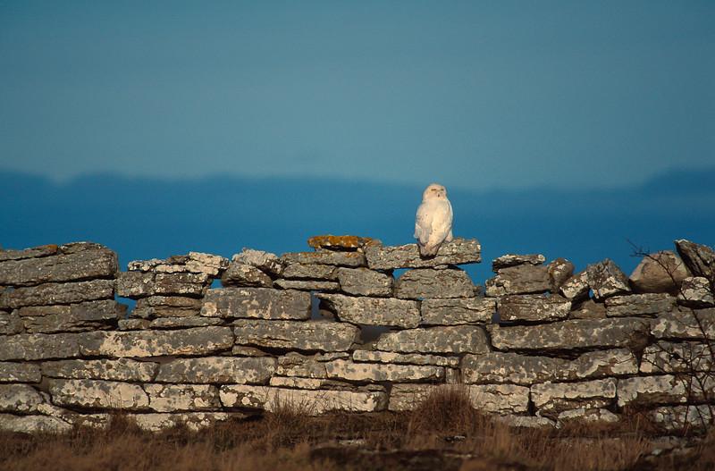 Snowy Owl , Fjälluggla