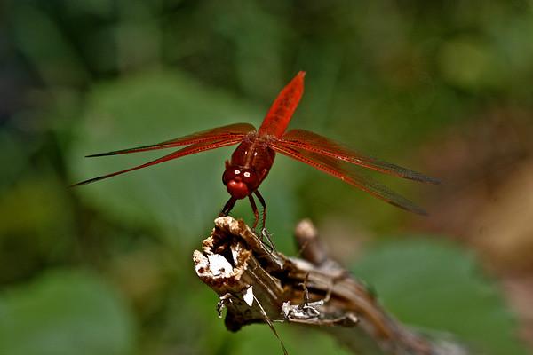 Firefly Eyes