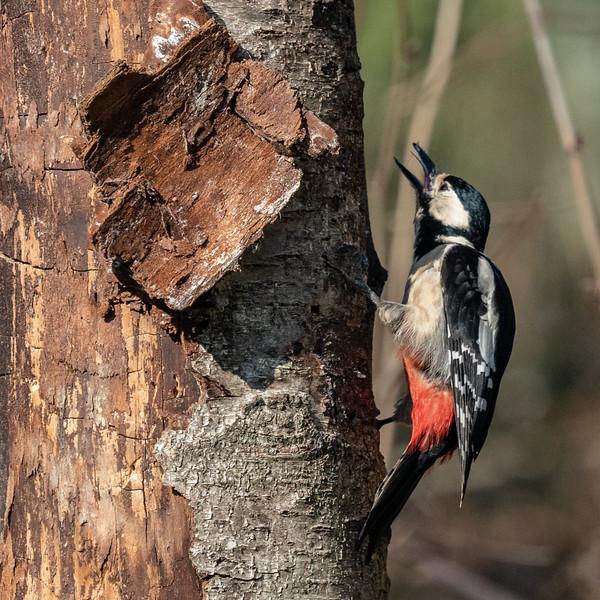 woodpecker-61.jpg
