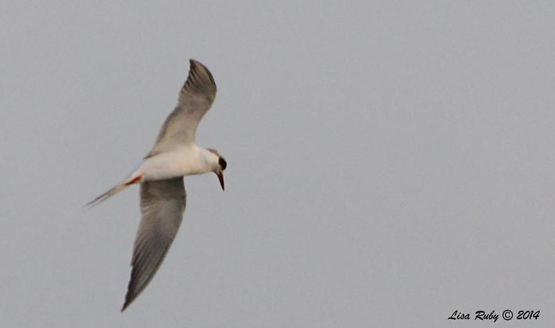 Fuzzy shot of a Forster's Tern - 3/2/14 - Birding 100 San Diego Bird Festival
