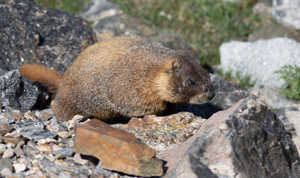 Yellow-bellied Marmot