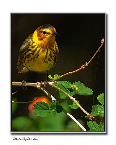 Cape May Warbler--Male