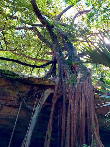 Tilapia in Yucatan Cenote