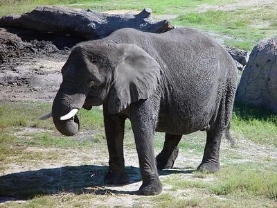 Elephants, Rhinos & Hippos