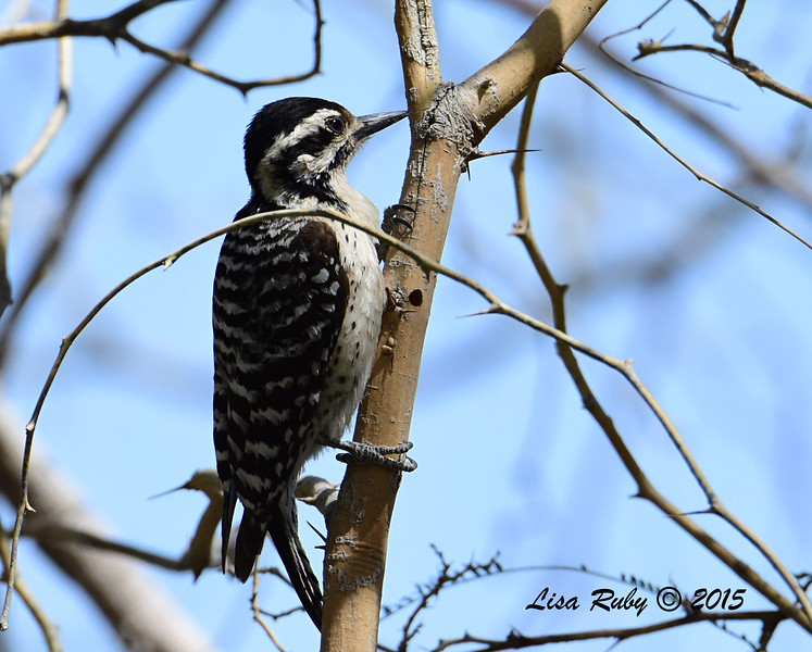 Ladder-backed Woodpecker - 4/4/2015 - tent sight, Agua Caliente