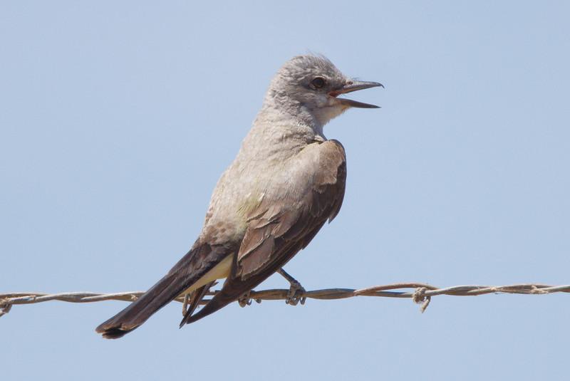 Western Kingbird adult (2) at Firebaugh, CA (07-18-2009)