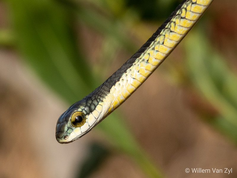 Boomslang (Dispholidus typus)