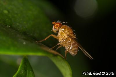 Orange Homoneura Fly