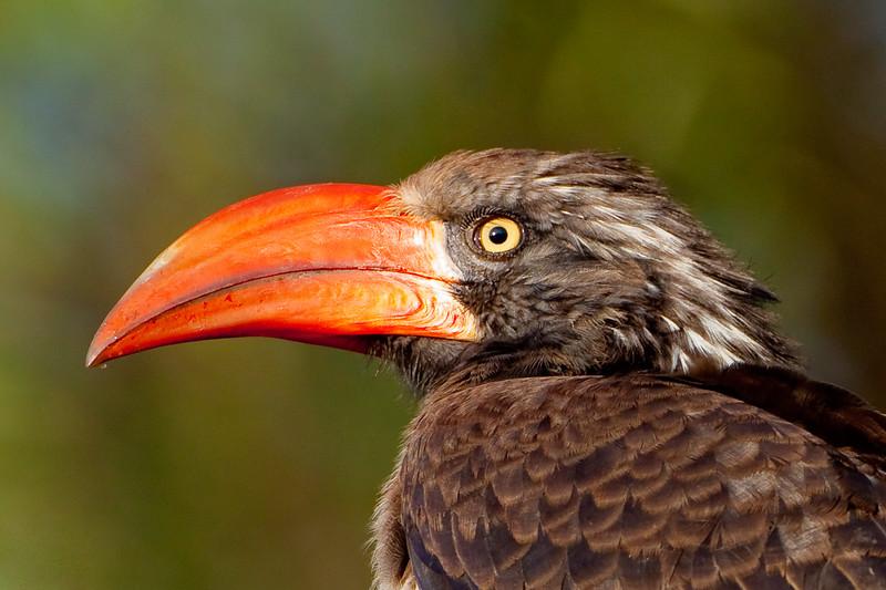 Crowned Hornbill (Tockus alboterminatus)